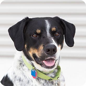 Labrador Retriever/Pointer Mix Dog for adoption in Houston, Texas - Waldo