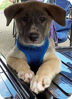German Shepherd Dog/Great Pyrenees Mix Dog for adoption in Wilmington, Massachusetts - Fred PENDING!