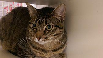 Domestic Shorthair Cat for adoption in Bridgeton, Missouri - Jordan