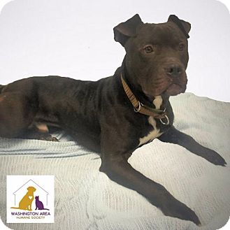 Pit Bull Terrier Mix Dog for adoption in Eighty Four, Pennsylvania - Moose