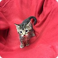Adopt A Pet :: Hummer - Butner, NC