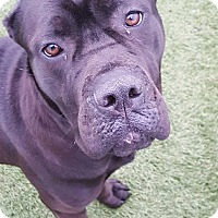 Adopt A Pet :: Raven - House Springs, MO