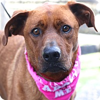 Rhodesian Ridgeback/Hound (Unknown Type) Mix Dog for adoption in West Grove, Pennsylvania - Ruby Red