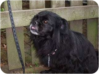 Pekingese Mix Dog for adoption in Richmond, Virginia - Portia