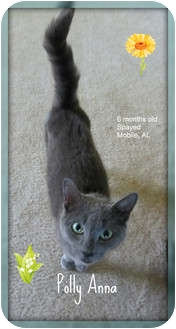 Domestic Shorthair Cat for adoption in Mobile, Alabama - Polly Anne