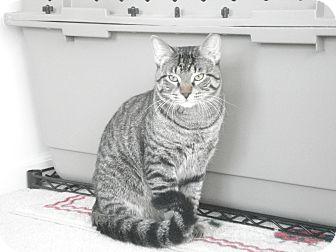 Domestic Shorthair Cat for adoption in Chicago, Illinois - Gigio