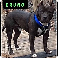Adopt A Pet :: Bruno - MAIDEN, NC