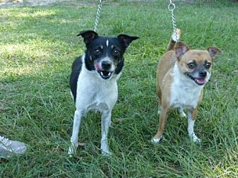 Chihuahua/Jack Russell Terrier Mix Dog for adoption in Conway, South Carolina - Teeko and Toby