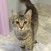Domestic Mediumhair Cat for adoption in Chattanooga, Tennessee - Potatoe Chip