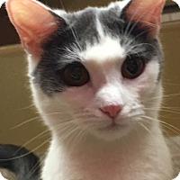 Domestic Shorthair Kitten for adoption in Statesville, North Carolina - Phoebe