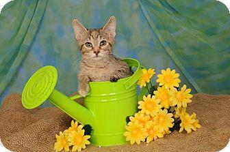 Domestic Shorthair Kitten for adoption in mishawaka, Indiana - Phoebe