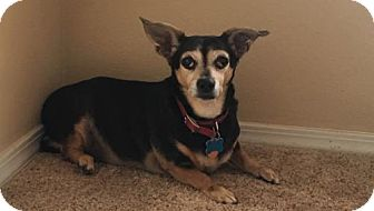 Chihuahua Mix Dog for adoption in Albuquerque, New Mexico - Lacey