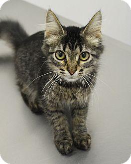 Domestic Mediumhair Kitten for adoption in Springfield, Illinois - Tabby