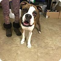 Adopt A Pet :: Chucky - Chicago, IL