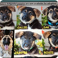 German Shepherd Dog Puppy for adoption in Los Angeles, California - MAIZE'S 7 PUPPIES