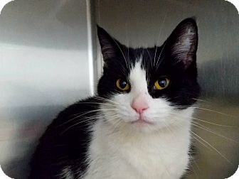 Domestic Shorthair Cat for adoption in Elyria, Ohio - Petunia
