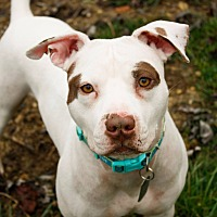 American Pit Bull Terrier/Pit Bull Terrier Mix Dog for adoption in Dayton, Ohio - Trumpet