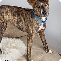 Hound (Unknown Type) Mix Dog for adoption in Hopkinton, Massachusetts - Polly