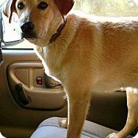 Adopt A Pet :: Yellow1 - Hanover, PA