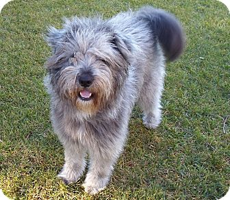 Bearded Collie/Schnauzer (Standard) Mix Dog for adoption in Mission Viejo, California - OLIVIA