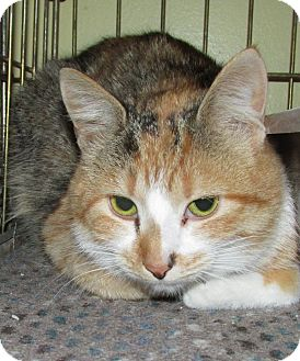 Domestic Shorthair Cat for adoption in Acme, Pennsylvania - Echo