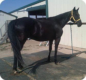 Quarterhorse Mix for adoption in Larskpur, Colorado - Sybil