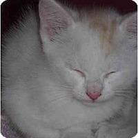 Adopt A Pet :: Tiny Tim - Washington Terrace, UT