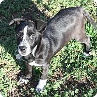 Adopt A Pet :: Spot - Justin, TX
