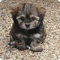 Adopt A Pet :: Piper - La Habra Heights, CA