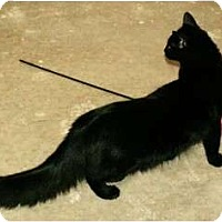 Adopt A Pet :: Evoo - family kitten - Scottsdale, AZ