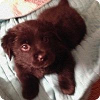 Adopt A Pet :: RUBIN - Higley, AZ