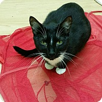 Domestic Shorthair Cat for adoption in Maryville, Tennessee - Duncan