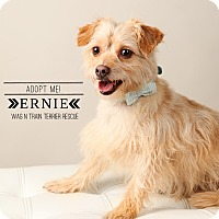 Adopt A Pet :: Ernie-Pending Adoption - Omaha, NE