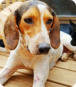Redtick Coonhound Mix Dog for adoption in Kingston, Tennessee - Luka