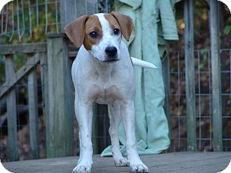 Jack Russell Terrier/Hound (Unknown Type) Mix Dog for adoption in Spring Valley, New York - Bindie - $200