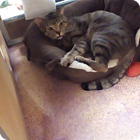 Domestic Shorthair Cat for adoption in West Dundee, Illinois - Hunter
