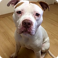 Adopt A Pet :: Mack in CT - Manchester, CT