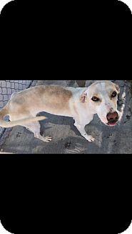 Hound (Unknown Type)/Labrador Retriever Mix Puppy for adoption in Groton, Massachusetts - Destiny