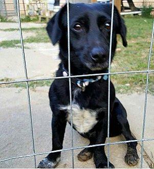 Cocker Spaniel/Dachshund Mix Dog for adoption in Gretna, Florida - Chipper