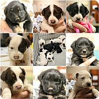 Adopt A Pet :: Litter of 8 - Monroe, GA