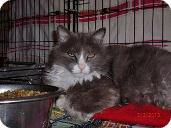Maine Coon Cat for adoption in San Luis Obispo, California - Huey