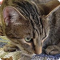Adopt A Pet :: Penelope - Chandler, AZ