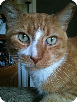 Domestic Shorthair Cat for adoption in Gaithersburg, Maryland - Stripes