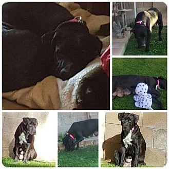 Labrador Retriever Mix Dog for adoption in Phoenix, Arizona - Pepper