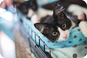 Domestic Mediumhair Cat for adoption in Houston, Texas - Teddy