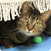 Domestic Shorthair Cat for adoption in Pittsburgh, Pennsylvania - Gretta