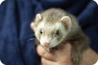 Ferret for adoption in Balch Springs, Texas - Henry