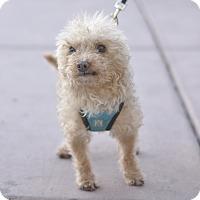 Adopt A Pet :: Dwight Schrute - Las Vegas, NV