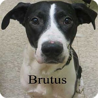 Labrador Retriever Mix Dog for adoption in Warren, Pennsylvania - Brutus