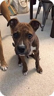American Staffordshire Terrier/Boxer Mix Puppy for adoption in Raleigh, North Carolina - Tiger